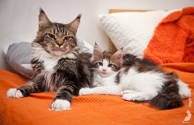 Котенок лучше чем взрослый кот